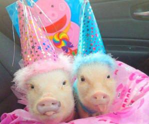 Такие классные свинки!