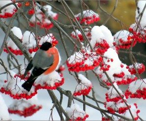 Зимняя рябина — 10 фотографий