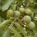 Знаете как растёт грецкий орех? 9 фоток.