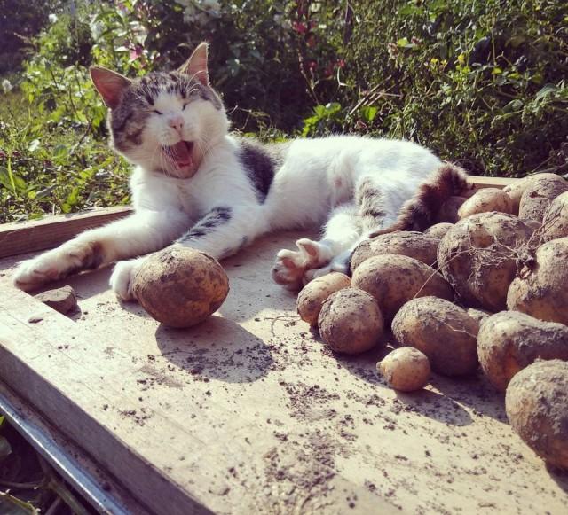 белорусы и картошка фото (11)