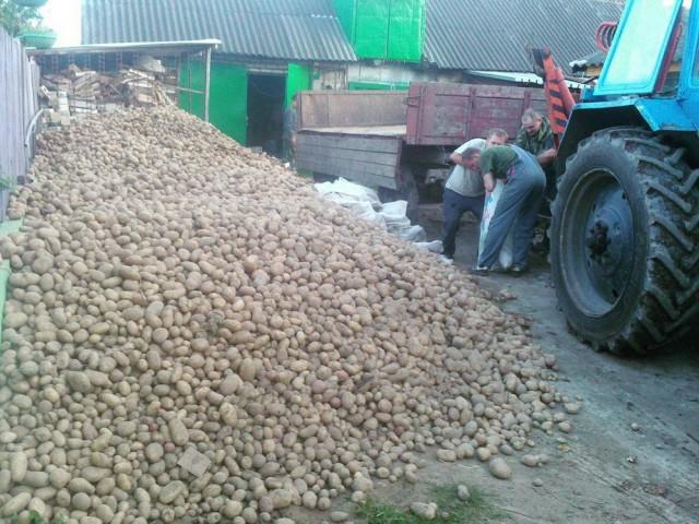 белорусы и картошка фото (13)
