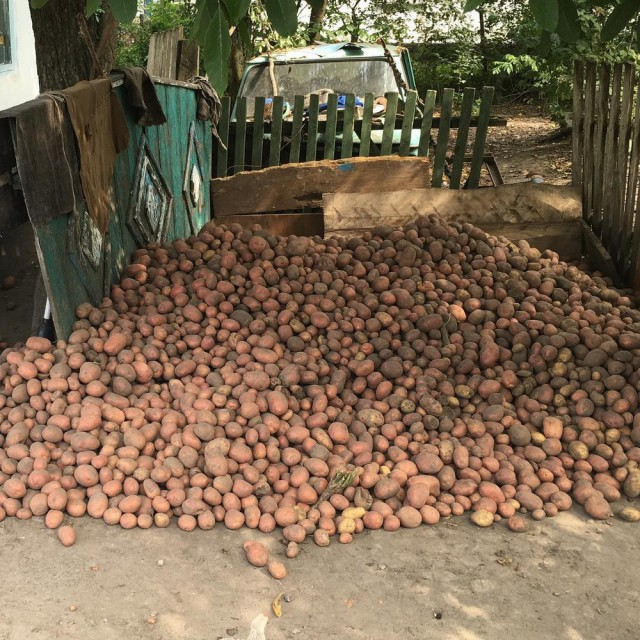 белорусы и картошка фото (4)
