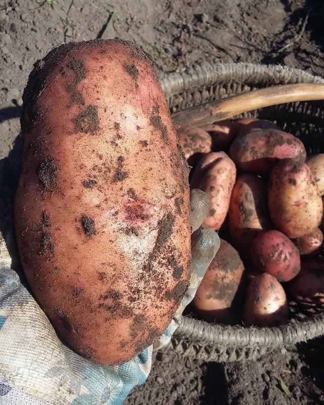 белорусы и картошка фото (5)