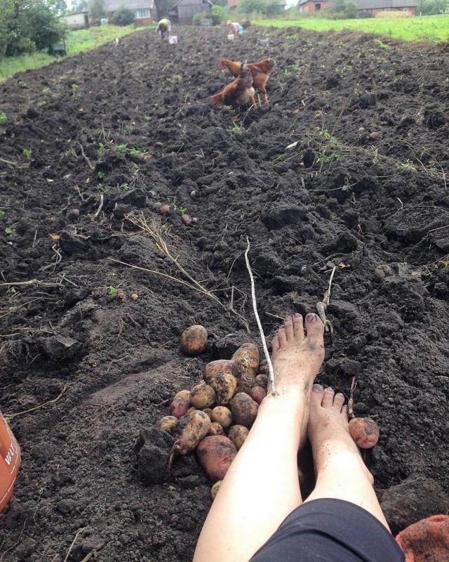 белорусы и картошка фото (6)