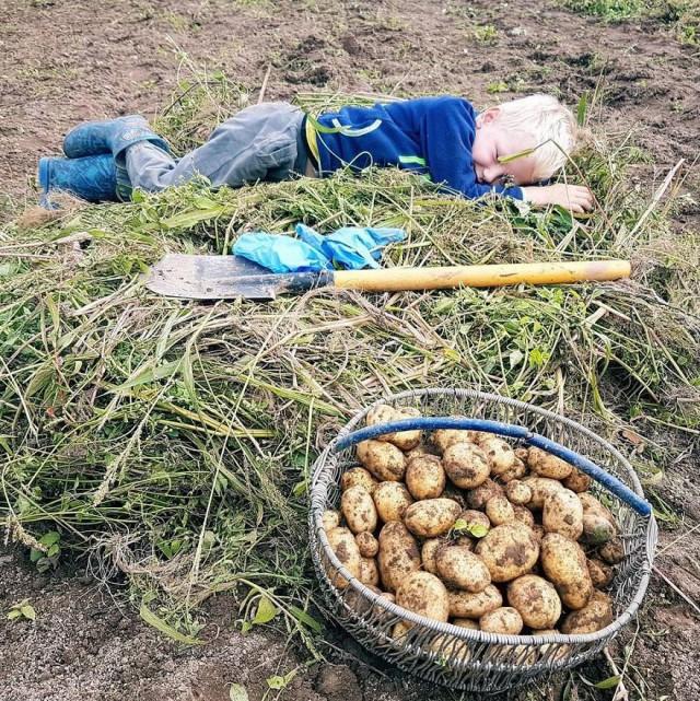 белорусы и картошка фото (7)