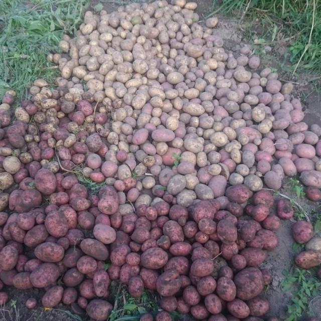 белорусы и картошка фото (8)
